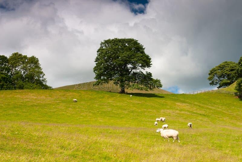 Op het weiland in Sedbergh, de Dallen Nationaal Park van Yorkshire, Engeland royalty-vrije stock foto's