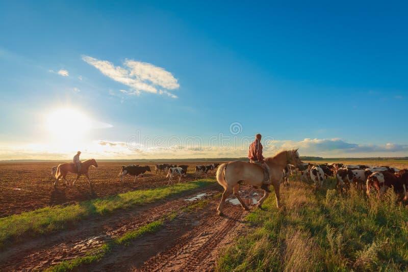 Op horseback weiden de herders koeien royalty-vrije stock fotografie