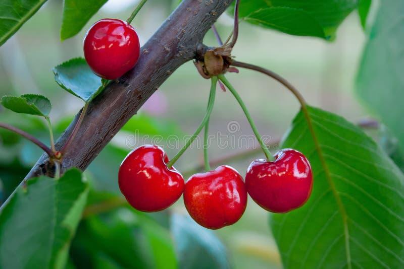 Op kersen rijp goede sappige rode berries_ stock foto