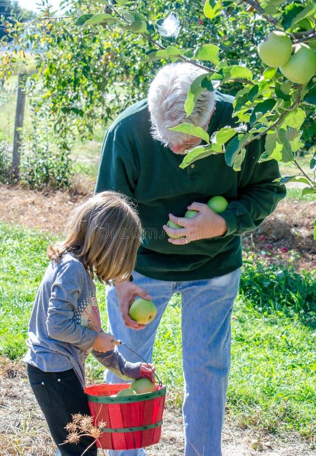 Opa en kind het plukken appelen in Michigan royalty-vrije stock fotografie