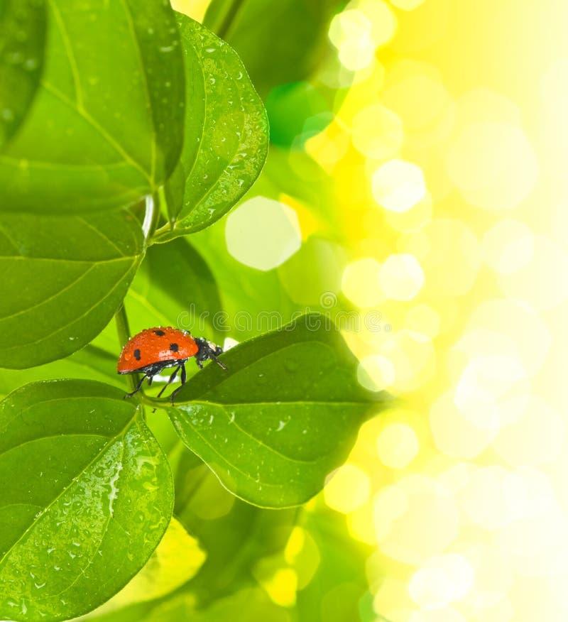 opadowy zielony ladybird liść fotografia royalty free