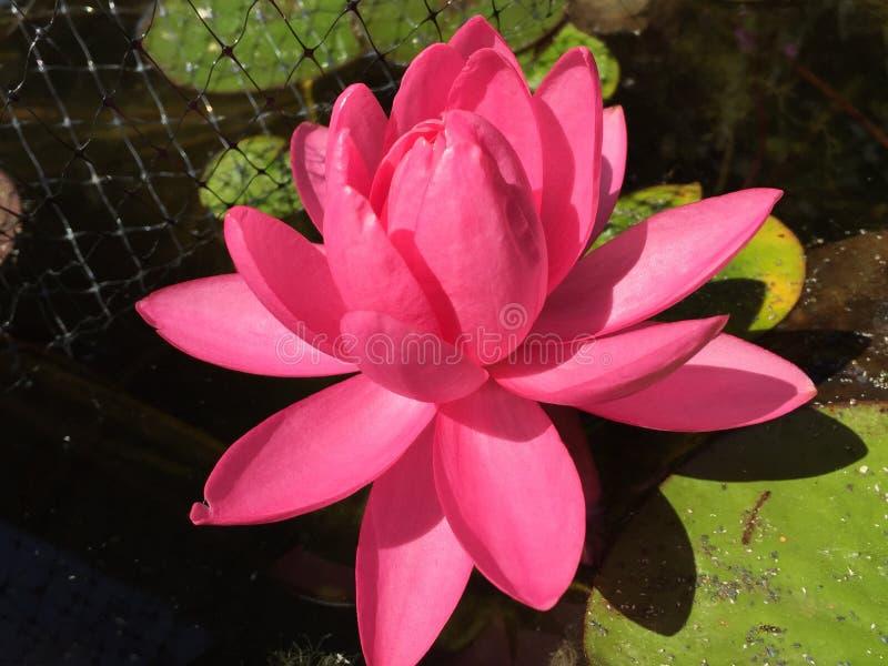 Opal' cor-de-rosa do rosa do ' brilhante watterlily imagens de stock