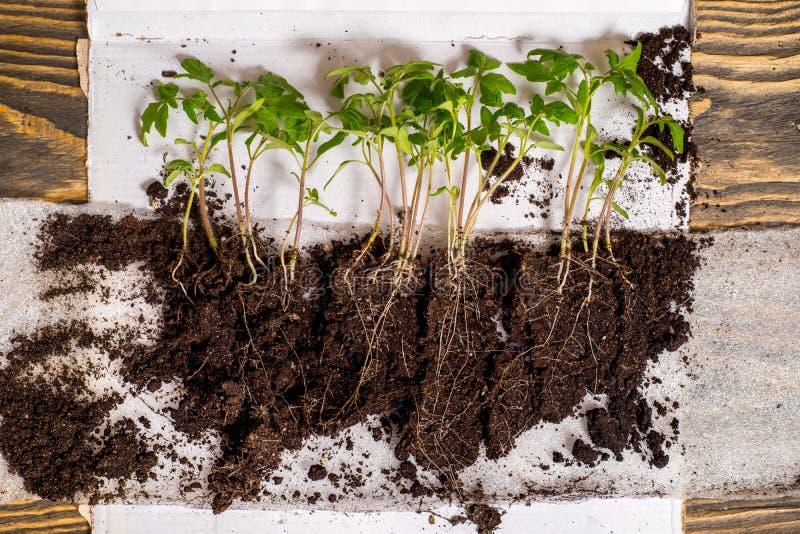Opeenvolging van zaadgerminatie op grond, evolutieconcept royalty-vrije stock afbeelding