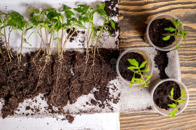 Opeenvolging van zaadgerminatie op grond, evolutieconcept stock afbeeldingen