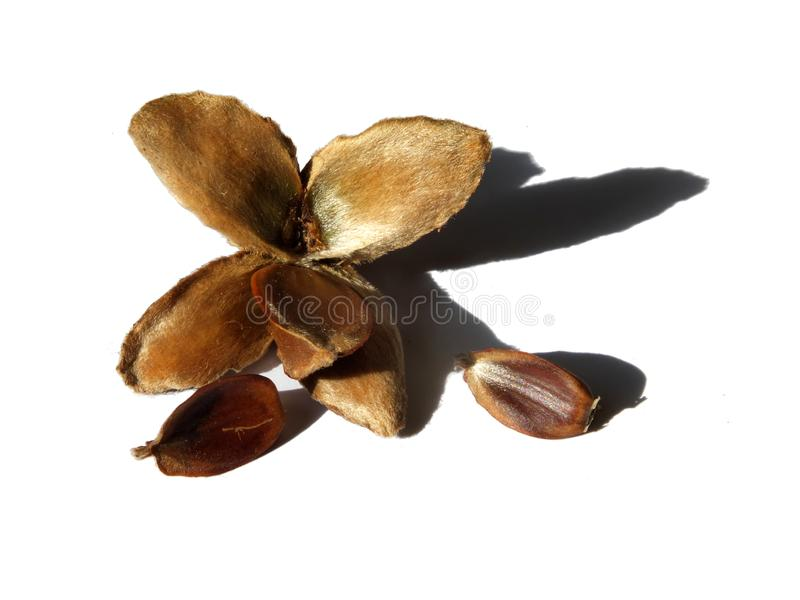 Open beech husk with nuts on a white background with shadow royalty free stock photo