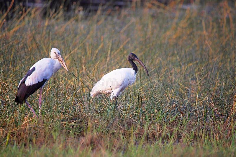 Open Bill Stork, Anastomus oscitans en Ibis Met zwarte kop, Tadoba Andhari Tiger Reserve, Maharashtra royalty-vrije stock afbeelding