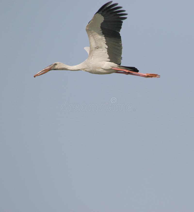 Open billed stork bird. Flying in the sky. beautiful detail of bird. sky blue colors in background providing beauty to the bird royalty free stock images