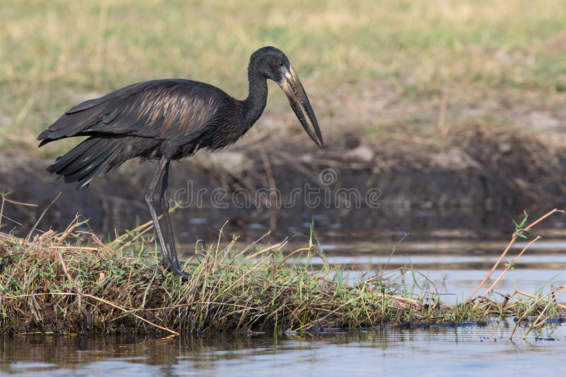 Open billed stork. Eyeing water for prey royalty free stock image