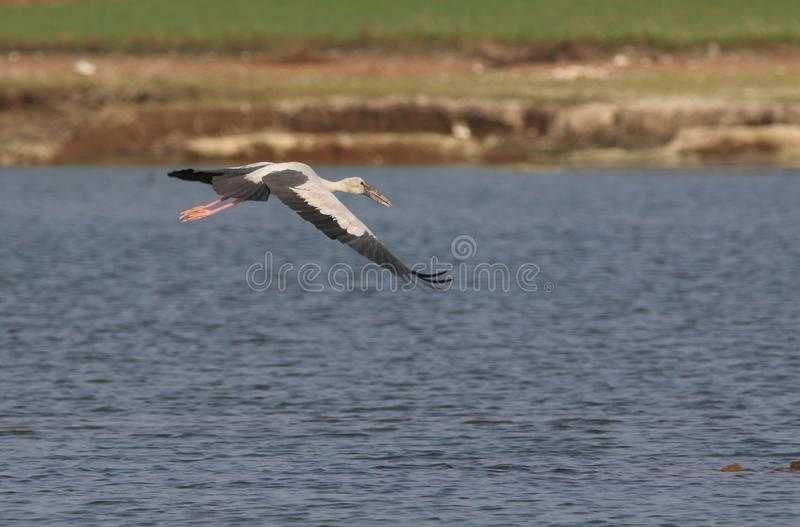 Open billed stork. Flying on water. bird body colour is mostly white, white feathers and border of feathers dark grey, beak is light pink and leg are also light stock images