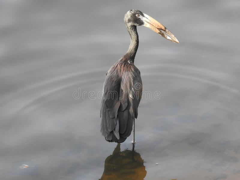 Open-billed stork, Mwanza, Lake Victoria, Tanzania royalty free stock photos