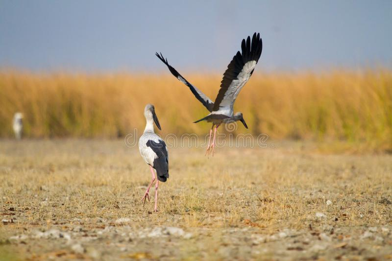 Open billed Stork  in a wetland. Open Billed Stork Taking off at Nal Sarovar Bird Sanctuary in west Indian state of Gujarat royalty free stock photo