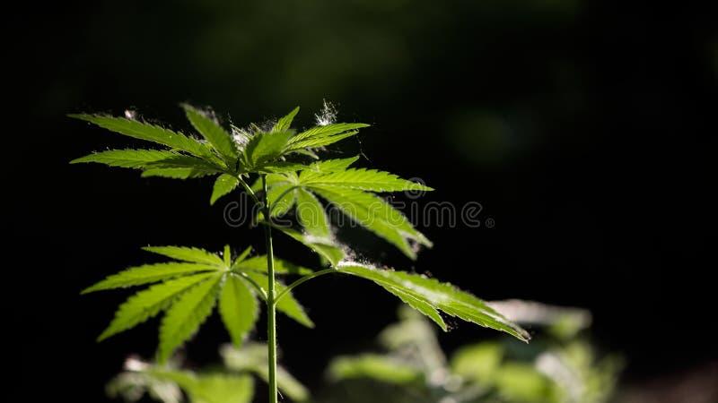 Open blad van cannabis op een zwarte achtergrond Het licht trekt de textuur van het blad royalty-vrije stock fotografie