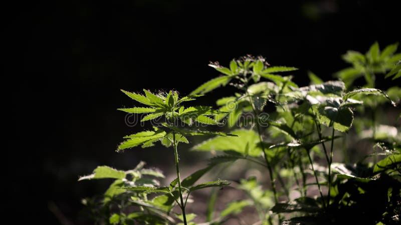 Open blad van cannabis op een zwarte achtergrond Het licht trekt de textuur van het blad stock foto