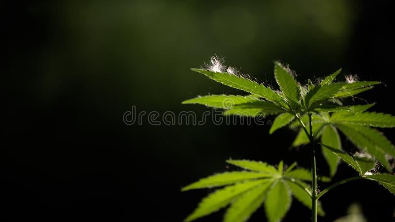 Open blad van cannabis op een zwarte achtergrond Het licht trekt de textuur van het blad stock afbeelding