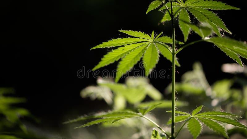 Open blad van cannabis op een zwarte achtergrond Het licht trekt de textuur van het blad royalty-vrije stock afbeeldingen