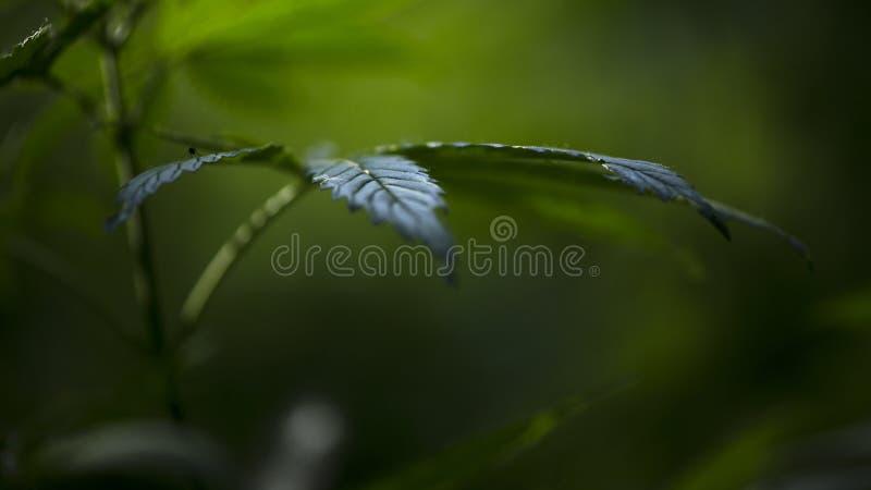 Open blad van cannabis op een zwarte achtergrond Het licht trekt de textuur van het blad royalty-vrije stock foto's