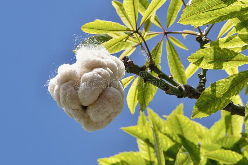Open burst cotton capsule of a kapok tree. The burst seed pod of a kapok tree Ceiba pendandra. He is the largest tree of the tropical rainforest. in thick balls royalty free stock image