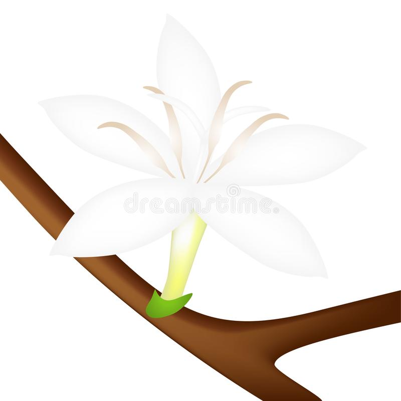 Open coffee flower on a branch isolated on white background. vector illustration