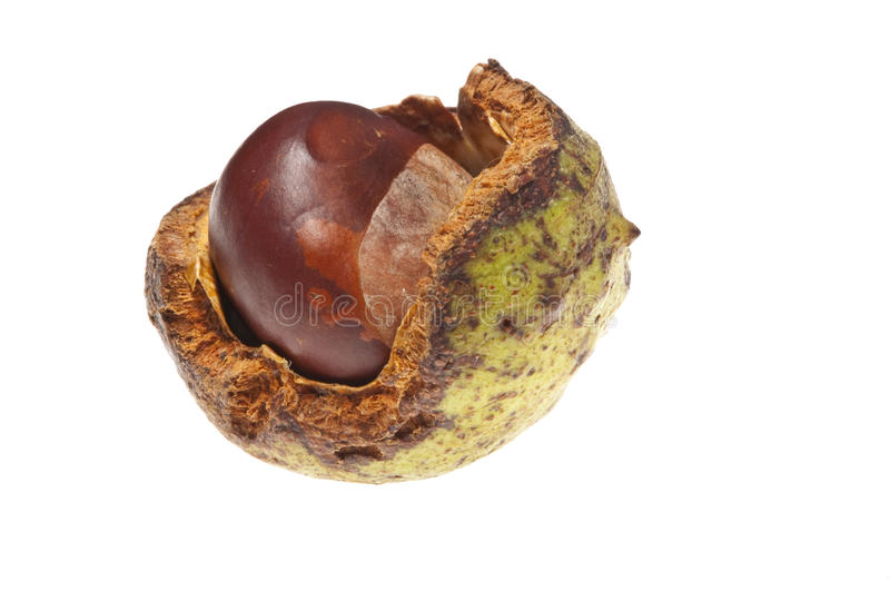 Open conker. Open horse chestnut seed case royalty free stock image