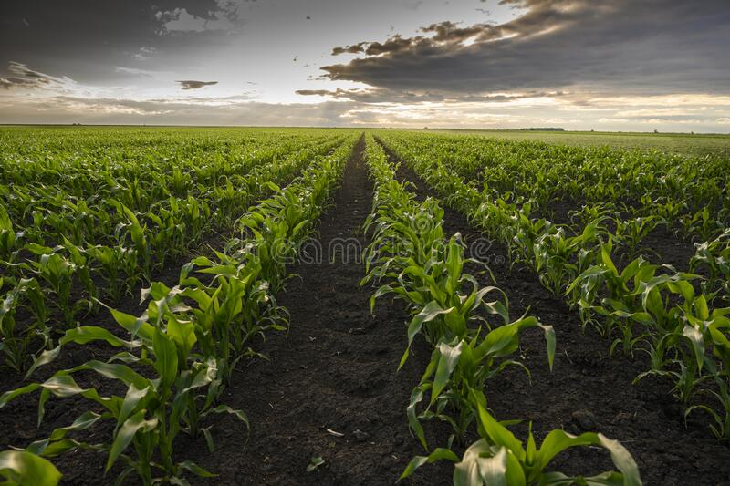 Open corn field at sunset royalty free stock photography