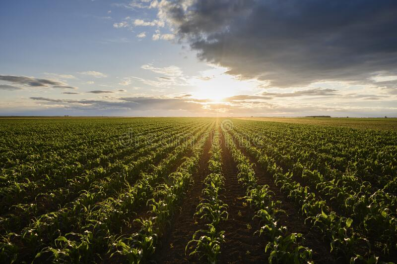 Open corn field at sunset royalty free stock images