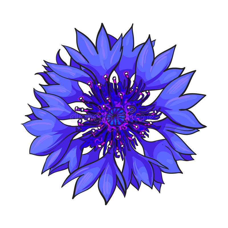 Open cornflower blossom, top view, sketch style vector illustration vector illustration