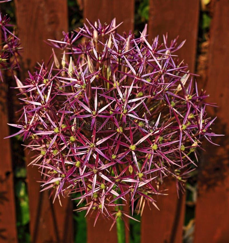 Open de bloemhoofd van alliumchristophii in tuin royalty-vrije stock fotografie