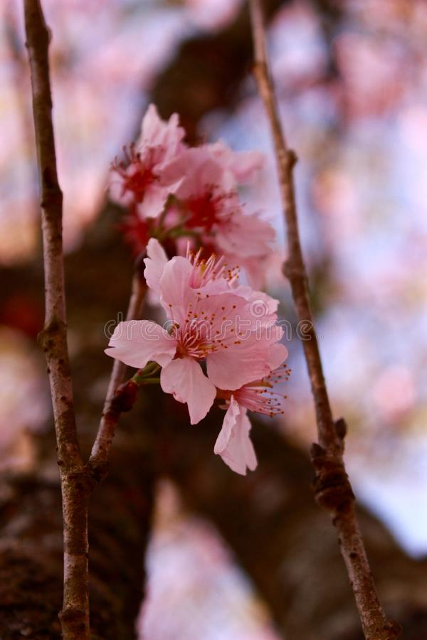 Open flowers of a cherry blossom stock image