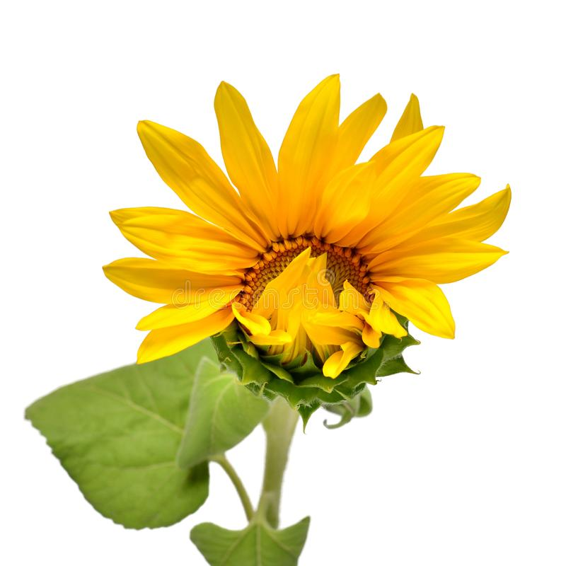 Open half sunflower flower on white background. Plant growth, nature, agriculture. Food. Creative concept. Flat lay, top. View stock photos