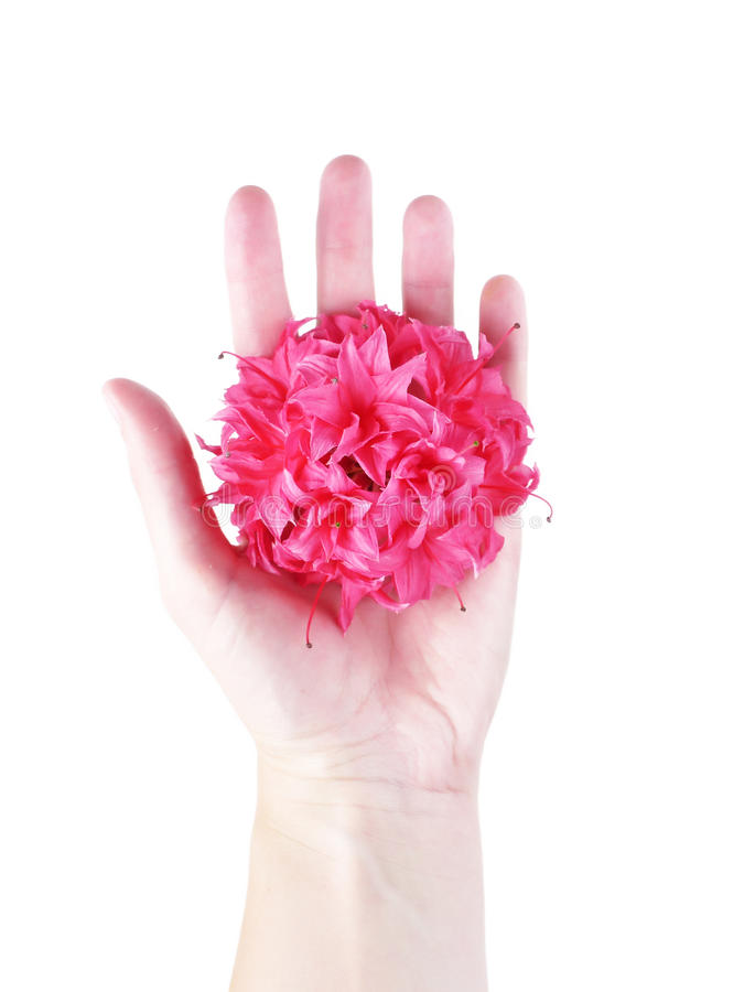 Open hand met azalea royalty-vrije stock afbeelding
