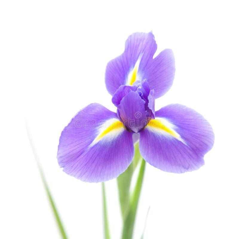 Open iris flowe royalty-vrije stock afbeeldingen