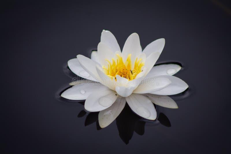 Open lelie met waterdruppeltjes op de bloem en zonder bladeren royalty-vrije stock foto