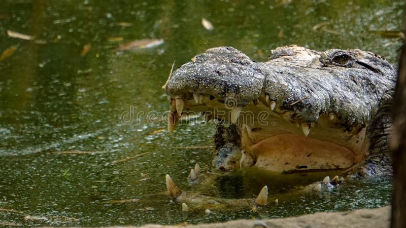 Open mouth Crocodile. Crocodile Openmouth Dosent change Shape for an hour Vandalur zoo Bigger Sonyalpha alpha6000 royalty free stock images