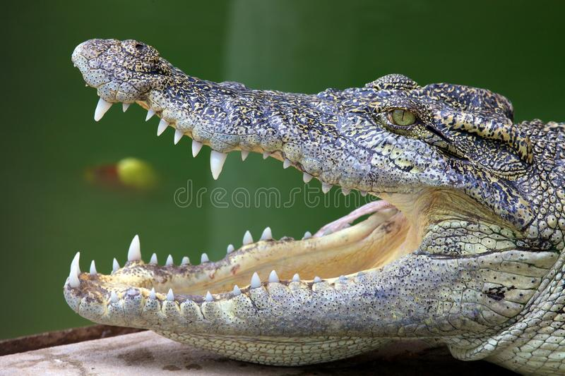 Download Open mouthed crocodile stock image. Image of green, animals - 14629935