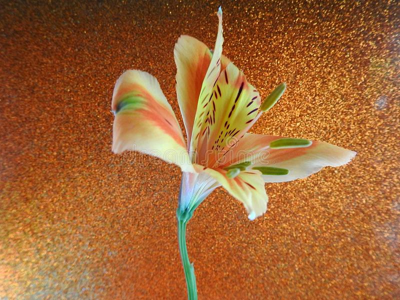 Open Oranje Lily Flower Isolated op Achtergrond royalty-vrije stock foto's