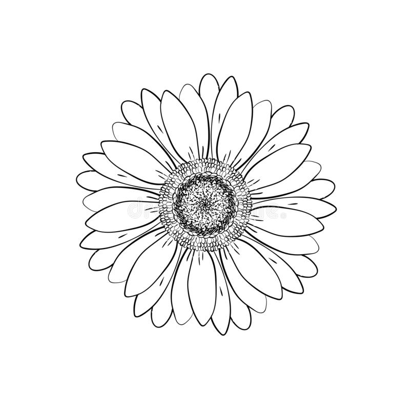Open petals daisy head flower. Floral Botany drawings. Black and white line art. Abstract floral background. Gerbera daisy. Sketch royalty free illustration