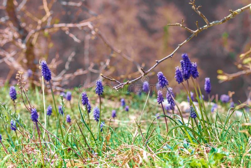 Open plek met bloemen Muscari stock fotografie
