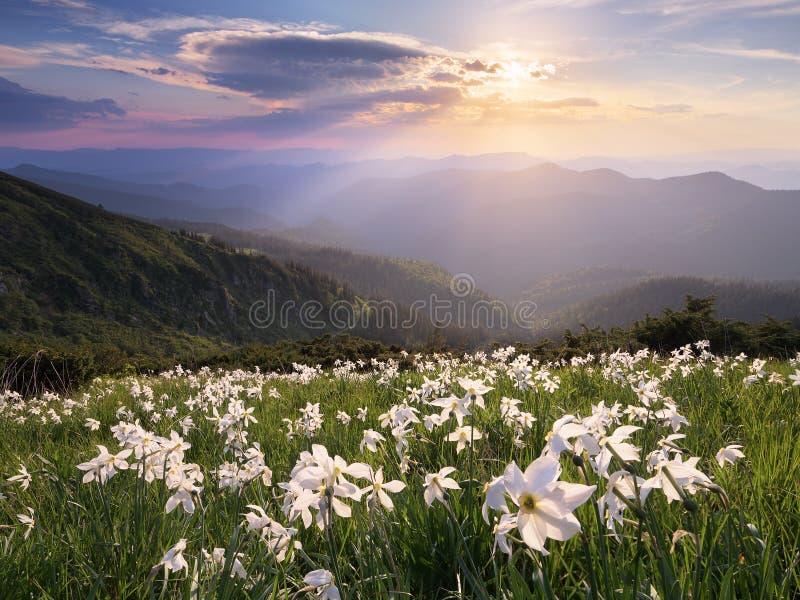 Open plek met witte bloemen in de bergen royalty-vrije stock afbeeldingen