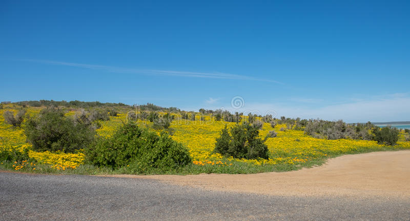 Open road through the flower fiends of the West Coast of South Africa stock photography