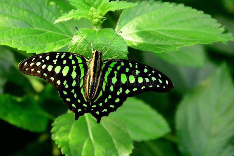 Open s'est envolée Jay Butterfly coupé la queue photos stock
