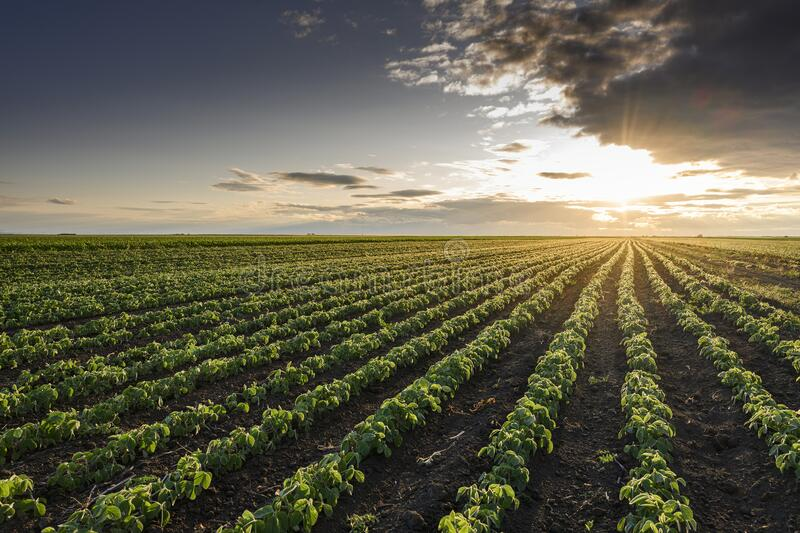 Open soybean field at sunset royalty free stock photo