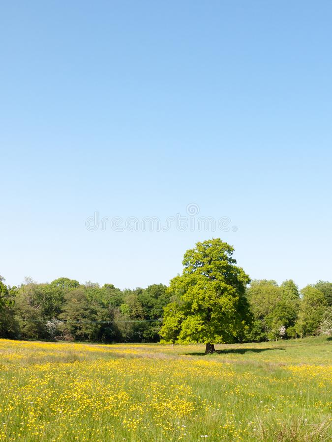 Open spring field day lush sky blue green grass background yellow flowers trees. Essex; england; uk royalty free stock image