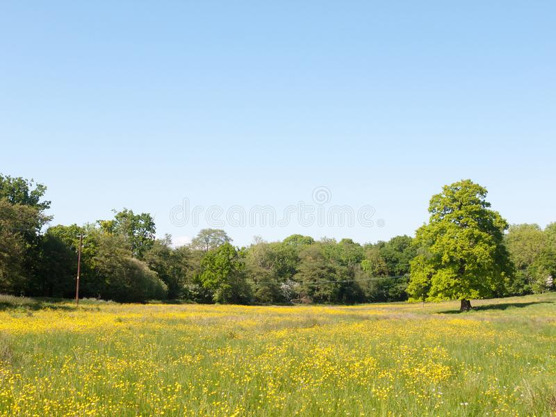 Open spring field day lush sky blue green grass background yellow flowers trees. Essex; england; uk stock photos