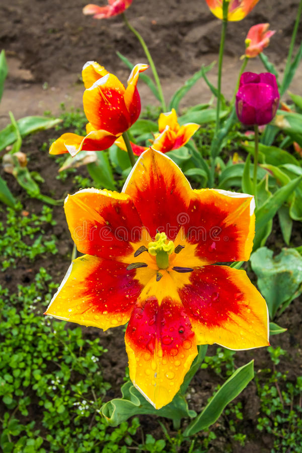 Open Tulp royalty-vrije stock fotografie