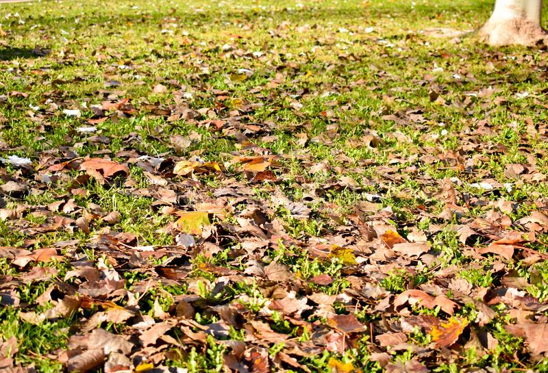 Open view of many dry maple orange leaves on the green grass in a scene of a fall day. The leaves have fallen on the ground and. The sunbeam lights the scene royalty free stock image