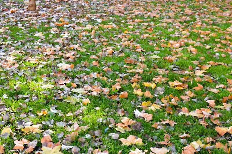 Open view of many dry maple orange leaves on the green grass in a scene of a fall day. The leaves have fallen on the ground and. The sunbeam lights the scene stock image