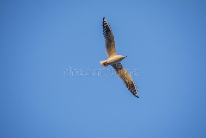 Open vleugel van zeemeeuw royalty-vrije stock afbeelding