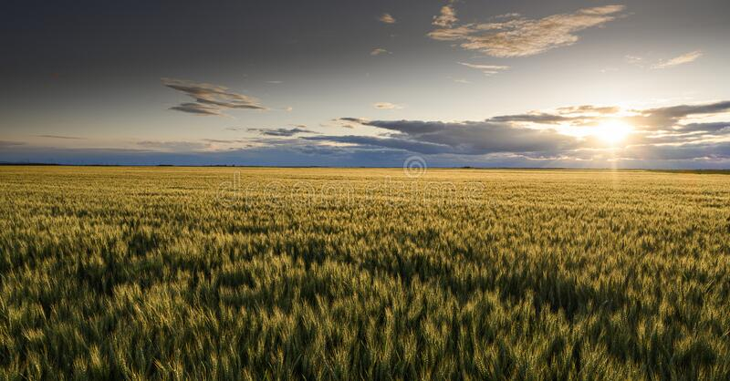 Open wheat field at sunset royalty free stock image