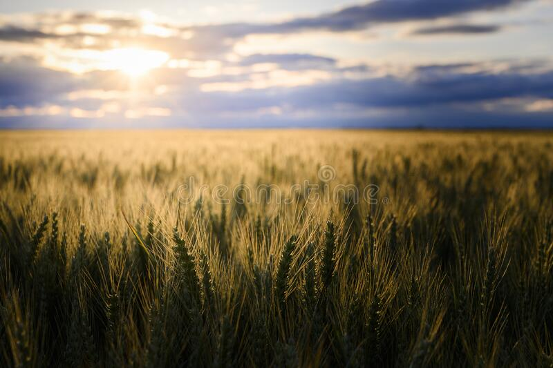 Open wheat field at sunset royalty free stock images