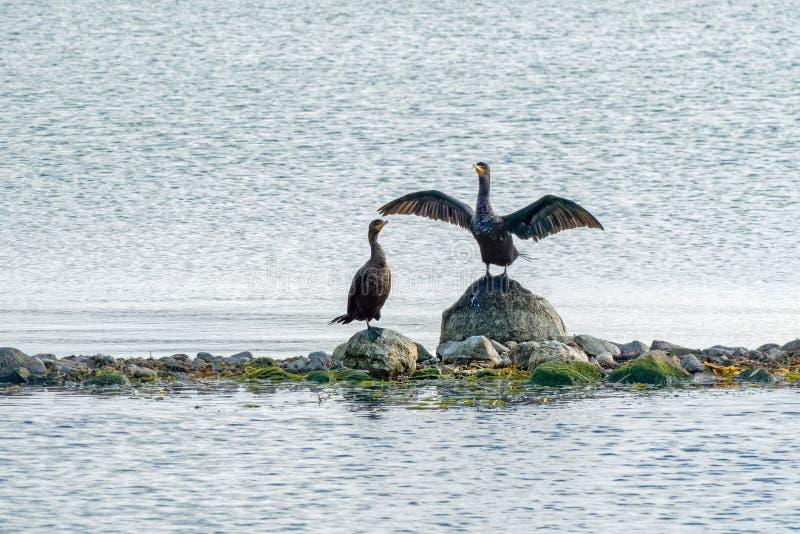 Two Cormorant Birds on Rocks in Lake stock image